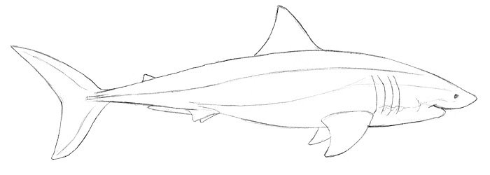 Weißer Hai Zeichnen